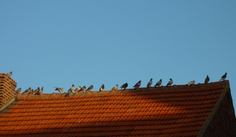duiven op een dak