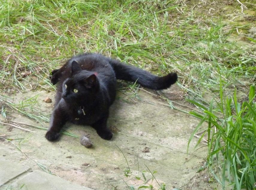 kat met dode muis
